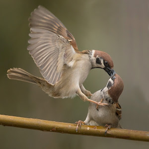 D:\01 GALERIJA FOTO\01 ptice\vrabci\2015\passer-2015-062.jpg