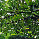 Hainan Elaeocarpus(水石榕)