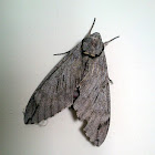 Plain Grey Hawk Moth