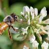 Honey Bee (in flight)