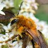 Andrenid Bee