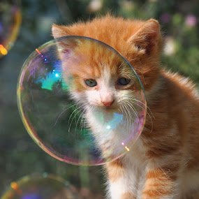 by Maja  Marjanovic - Animals - Cats Playing ( playing, cats, kitten, cat, animals, bubbles, kittens, kitty,  )