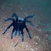 Tarántula cola roja de Yucatan, Yucatan rust rump tarantula