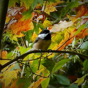song bird by Lavonne Ripley - Animals Birds