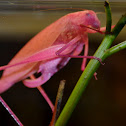 Oblong-Winged PINK Katydid