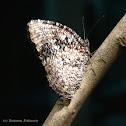 Tiger palmfly
