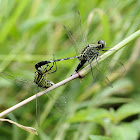 Green Marsh Hawk / Slender Skimmer Dragonfly