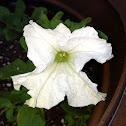 Wild white petunia