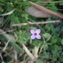 Tiny bluet