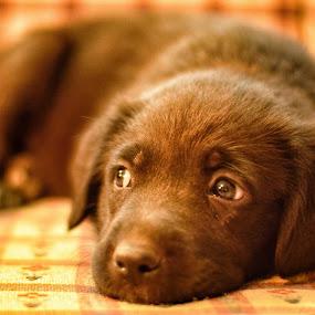Those eyes by Jeffrey Genova - Animals - Dogs Puppies ( puppy, baby, dog, cute, animal, #GARYFONGPETS, #SHOWUSYOURPETS )