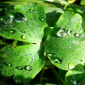 The raindrops and morning dew by Gordana Cajner - Nature Up Close Natural Waterdrops (  )