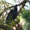 Zopilote, Black Vulture