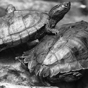 by Rui Quinta - Animals Reptiles (  )