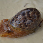 Unknown Cowry