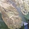 Caterpillars in web nest