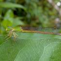 The Coromandel Marsh Dart