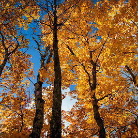 Fall Colors by Sarthak Bisaria - Nature Up Close Trees & Bushes ( michigan, porcupine mountains, fall colors, trees, yellow,  )
