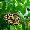 Common Lime Butterfly