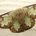 Lymantriid Moth or Tussock Moth