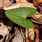 Arrow-leaf ginger