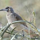 Littlefriar Bird