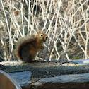 Caucasian Squirrel
