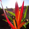 Helicônia papagaio (Heliconia parrot)