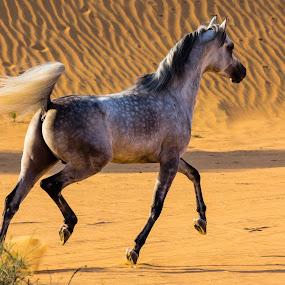 Royal Majesty  by Wissam Chehade - Animals Horses ( pride, pure, walking, desert, arabian horse, stepping, sunset, horse, majesty, yellow, gold, running )