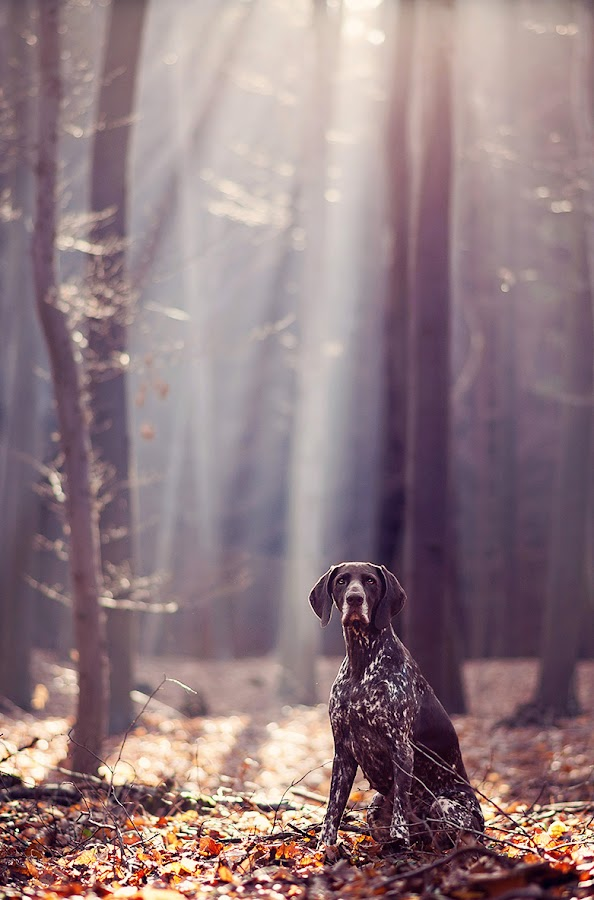 Forest touch... by Hanna Králíková - Animals - Dogs Portraits ( natural light, breed, german short-haired pointer, cute, natural background, adorable dogs, nature, happy, mamal, animal, pedigree, animalia, adult, portrait, sit, canine, vertebra, resting, sitting, animal kingdom, female, pet, zoology, rest, dog, companion dog, natural )