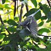 Chestnut-sided Warbler (female)