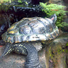 Old & Obese Red Eared Slider