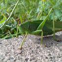 Зелен скакалец