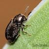 Minute Tree-fungus Beetle