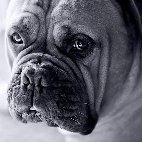 Garth the Bull Mastiff by Joe Eddy - Animals - Dogs Portraits ( bw, garth, white, mastiff, bull, black )