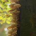 Porcelain mushroom/Porseleinzwam