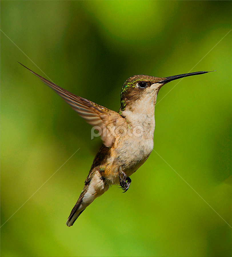 Little Bit by Roy Walter - Animals Birds ( animals, nature, hummingbird, wildlife, birds )