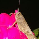 Egyptian Locust (Ανακρίδιο το Αιγύπτιο)