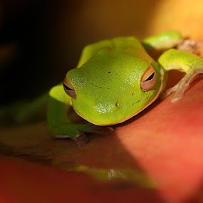 Green tree frog hiding in the bromilads by Ned Kelly - Animals Amphibians ( frog, green, tropical, amphibian,  )