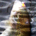 Trout Fishing Wallpaper logo
