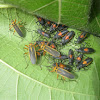 Bordered Plant Bugs (Adults and Nymphs)