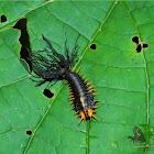 Tortoise Beetle Larva