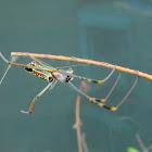 Banded-legged Golden orb-web spider