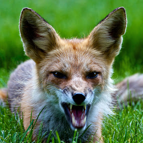 Red fox snarling by Dan Ferrin - Animals Other Mammals ( fox, nature, wildlife, mammal, red fox )