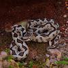 Horned viper (Οχιά)