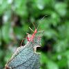 Bug - Chinche