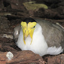 African Wattled Lapwing (Plover)
