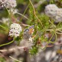 Mormon Metalmark Butterfly