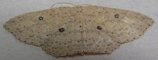 Packard's Wave Moth