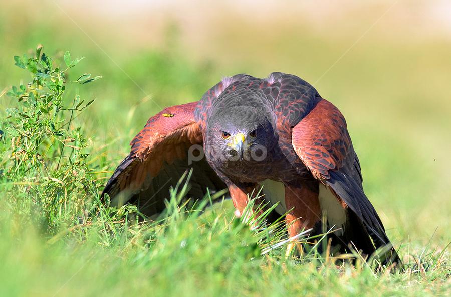 Harris's hawk by Roberto Melotti - Animals Birds ( roberto melotti, bird of prey, parabuteo unicinctus, prey, nikon d810, harris's hawk, dusky hawk, bird, poiana di harris, falco di harris, falcon, raptor, bay-winged hawk )