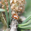 Cream-streaked Ladybird Beetle